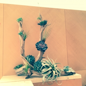 "Cuernos ""Horns"" Succulent & Ghost Wood Epiphytes ""Air Plant"""