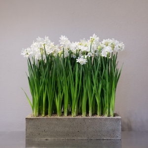 "36 Premium Paper White bulbs | 11""X 22"" Concrete Box"